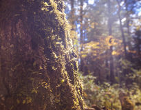 Moss. Alpine forest at an altitude of over 2,000 meters Stock Images