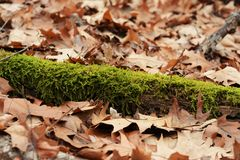 Moss amongst the leaves. Stock Photos