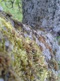 Moss on Apple Tree Bark Royalty Free Stock Images