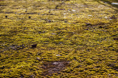 Moss on the asphalt. Lichen on the ground. Moss for background. Moss on the asphalt. Moss in the sun. Lichen on the ground. Moss for background Stock Images