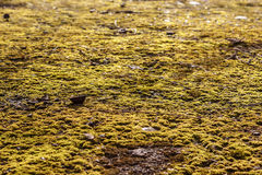 Moss on the asphalt. Lichen on the ground. Moss for background. Moss on the asphalt. Moss in the sun. Lichen on the ground. Moss for background Royalty Free Stock Image