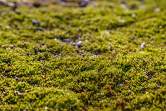 Moss on the asphalt. Lichen on the ground. Moss for background. Royalty Free Stock Photo