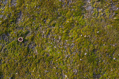 Moss on the asphalt. Lichen on the ground. Moss for background. Moss on the asphalt. Moss in the sun. Lichen on the ground. Moss for background Stock Image