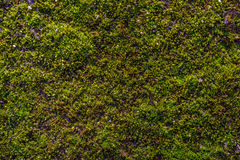 Moss on the asphalt. Lichen on the ground. Moss for background. Moss on the asphalt. Moss in the sun. Lichen on the ground. Moss for background Royalty Free Stock Photography