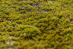 Moss on the asphalt. Lichen on the ground. Moss for background. Moss on the asphalt. Moss in the sun. Lichen on the ground. Moss for background Royalty Free Stock Photo
