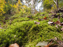Moss in autumn forest Stock Photo