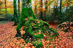 Moss and autumn leaves Royalty Free Stock Photography