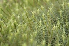 Moss Background Lizenzfreie Stockfotos