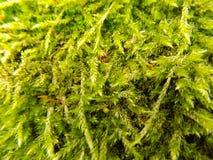 Moss Background Lizenzfreie Stockbilder