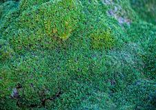 Moss Background fotografia de stock royalty free