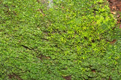 Moss Background Royalty Free Stock Image