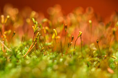 Moss background macro dew Royalty Free Stock Photos
