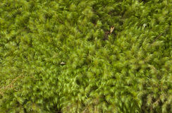 Moss Background Royalty Free Stock Photo