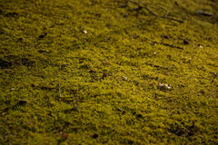 Moss background, selective focus - Bryophyta. Sunny moss carpet background, selective focus, filled frame Royalty Free Stock Photography