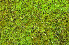 Moss background. Moss on the wall for beautiful background Stock Image