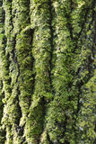 Moss on bark Stock Images