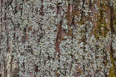 Moss on bark Royalty Free Stock Photo