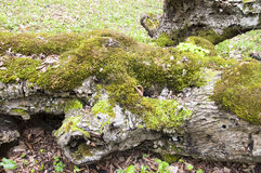 Moss on the bark of an old tree Royalty Free Stock Photo