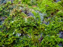 The moss on the bark of a pear royalty free stock photos