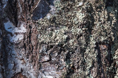 Moss bark texture Royalty Free Stock Photo