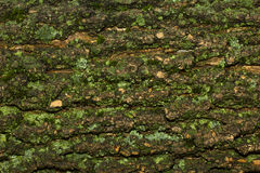 Moss bark texture. Close-up Royalty Free Stock Image