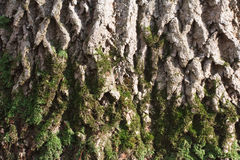 Moss on the bark of a tree Stock Images