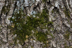 Moss on the bark of a tree. Close-up. Stock Photo