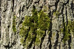 Moss on bark of tree spring forest background Stock Images
