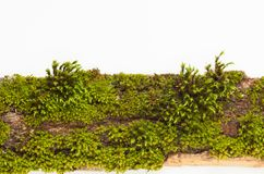 The moss on the bark of a tree on a white background. Place for text. Stock Photography