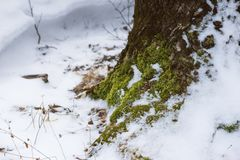 Moss growing at the base of a snowy tree stock image