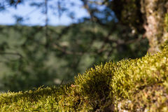 Moss on the Basis of an Oak Stock Image