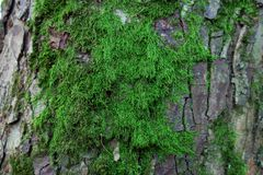 Moss. Beautiful green moss on the bark of a tree Royalty Free Stock Images
