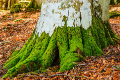 Moss on beech tree Stock Images