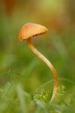 Moss bell (Galerina hypnorum). Bell toadstool / Moss Bell (Galerina hypnorum) with small DOF royalty free stock images