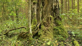 Moss on the big broken tree. Autumn daytime. Smooth close up dolly shot stock video footage