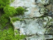 Moss on a birch bark Stock Image