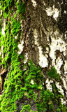 Moss on birch tree Royalty Free Stock Photography
