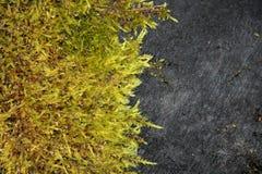 Moss on black log. Background Stock Image