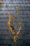 Moss on black tile wall. Debris of moss and plant from winter still remain on the wall of old house Stock Photography