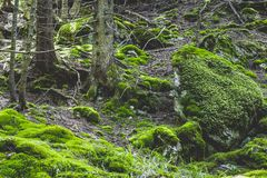 Moss blanket. Heavy moss covering in the coniferous forests of the Oriental Carpathians Stock Image