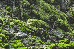 Moss blanket. Heavy moss covering in the coniferous forests of the Oriental Carpathians Stock Photography