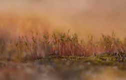 Moss blooming on a re background stock photo