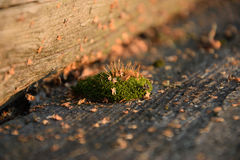 Moss. On boards summer day Royalty Free Stock Photography