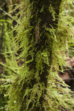 Moss on branch Royalty Free Stock Image