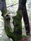 Moss and broken birch in a forest. In the Carpathians stock photography