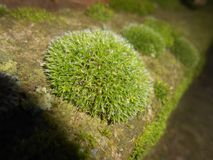 Moss Bryophyta. On neutral background Stock Images