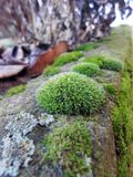 Moss Bryophyta. On neutral background Royalty Free Stock Images