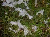 Moss Bryophyta. With snow cover, green background Royalty Free Stock Images