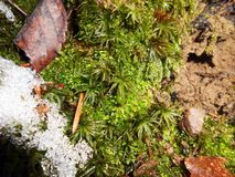 Moss Bryophyta. With snow cover, green background Royalty Free Stock Photo