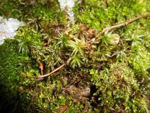 Moss Bryophyta. With snow cover, green background Royalty Free Stock Photos